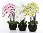 https://sklep.hydroponika.pl/Ro%C5%9Bliny_i_kwiaty_sztuczne/storczyki/5355-Phalenopsis_w_b%C5%82ocie_92_cm_bia%C5%82o-kremowa.html - zdjęcie 5